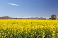 Fields of Canola in Victoria Australia