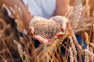 Woman hands full of ripe wheat seeds in cereal field ready for the harvest