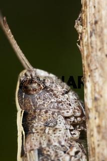 Chorthippus dorsatus, Wiesen-Grashüpfer, Steppe Grasshopper