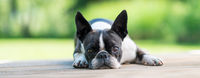 Boston Terrier dog lying on a brown wooden terrace - shallow depth of field