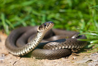 Grass snake basking on a sun and lifting its head curiously.