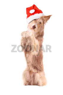 Dog with santa hat,to sit up and beg, isolated