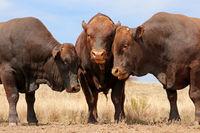 Portraits of three stud Bonsmara bulls on a rural farm - South Africa