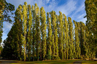 Row of Poplar trees in Te Anau illuminated with golden evening sunshine