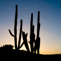 Silhouettes of columnar cacti with back light