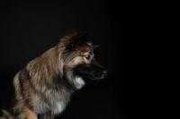 Wolfspitz sideways in profil on black background