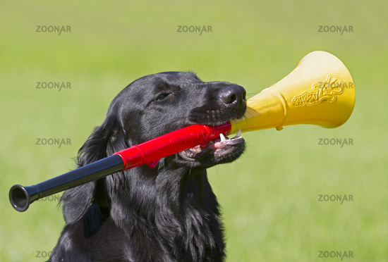 Flat Coated Retriever with vuvuzela