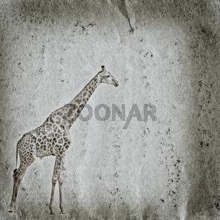 giraffe old grunge paper texture