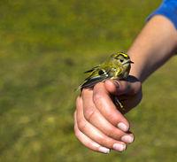 Goldcrest (Regulus regulus) in the hands of an ornithologist during bird ringing