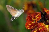 Hummingbird hawk-moth on a wallflower