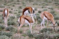 Springboks, Etosha NP, Namibia