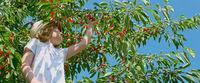 Child picks cherries, panoramic format