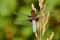 Libellula depressa, the broad-bodied chaser broad-bodied darter