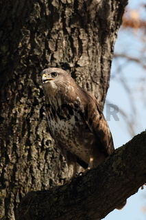 common buzzard (Buteo buteo) germany