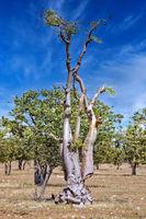 Moringa tree, Moringa ovalifolia, at Etosha NP, Namibia