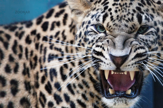 Leopard, teeth baring and hissing