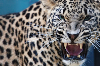 Leopard, Zähne fletschend und fauchend