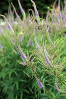 Kandelaber-Ehrenpreis, KandelaberEhrenpreis (Veronicastrum virginicum) Hybride
