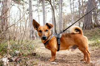 Dog with leash in the woods in springtime. Forest hiking, training and adventure concept.
