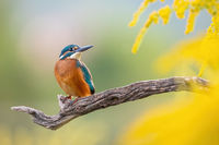 Adorable common kingfisher sitting on a twig in the autumn morning.