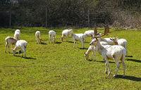 Fallow deer, white deer, white variation, in the enclosure