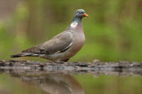 Adult common wood pigeon standing above the pond in summer
