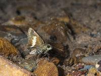 Zema banded Ace, Halpe zema, butterfly Garo Hills, Meghalaya, India