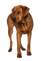 Broholmer dog isolated on white background