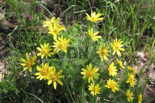 Büschel von blühenden Frühlings-Adonisröschen, Adonis vernalis