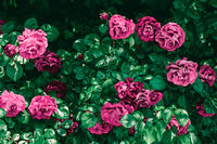 Blooming roses in beautiful flower garden as floral background
