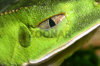 Tropical Green Frog,Amazonia, Ecuador