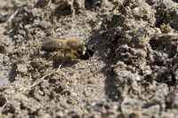 vernal colletes at the nest