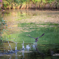 Water bird takes off from the water of a small pond