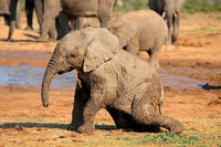 A cute baby African elephant (Loxodonta africana) playing