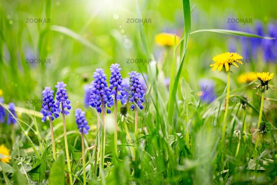 Muscari grape hyacinth flowers and dandelions.