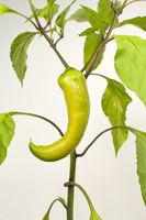 Grüner Paprika Chili Pfefferoni