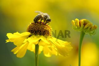 Honigbiene auf Asternblüte