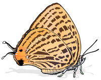 Marshmallows Spotted Japonica Butterfly