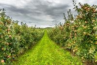 Apple plantation with ripe, red apples, Hagnau am Bodensee, Baden-Wuerttemberg, Deutschland