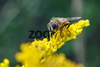 Mistbiene , Schlammbiene oder Scheinbienen-Keilfleckschwebfliege ( Eristalis tenax ).