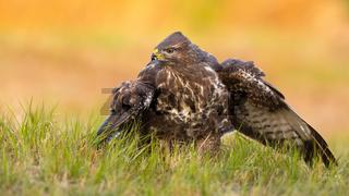 Alert common buzzard guarding prey on field in spring nature