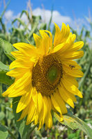 Close up of yellow flower of sunflower, Helianthus annuus
