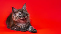 Cute black smoke American Longhair Maine Coon kitten lies on red background, stretching out its paw