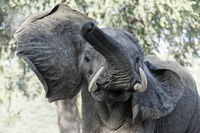 African elephant attacking, head shaking