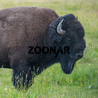 Portrait of American Bison