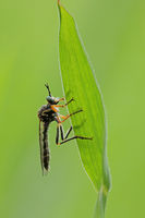 Common red-legged robberfly (Dioctria rufipes)