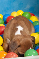 Boxer dog puppy playing in ball pond
