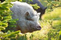 Pig between firs