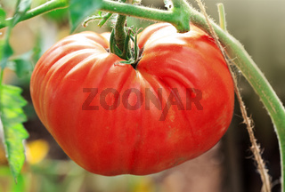 Close Up of big red tomato in greenhouse.