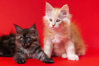 American Forest kittens of colors black smoke and red silver classic tabby on red background